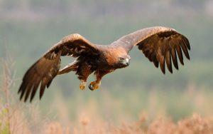 Golden Eagle Falconry